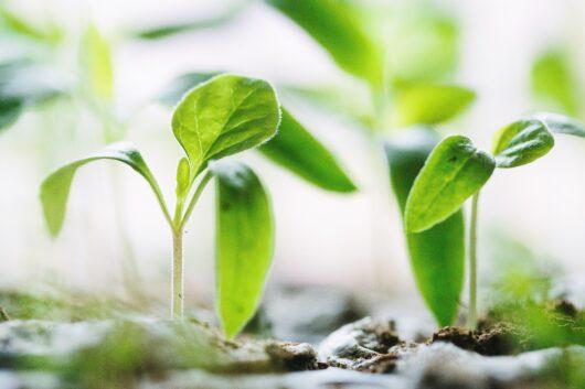 オーガニック食品の芽